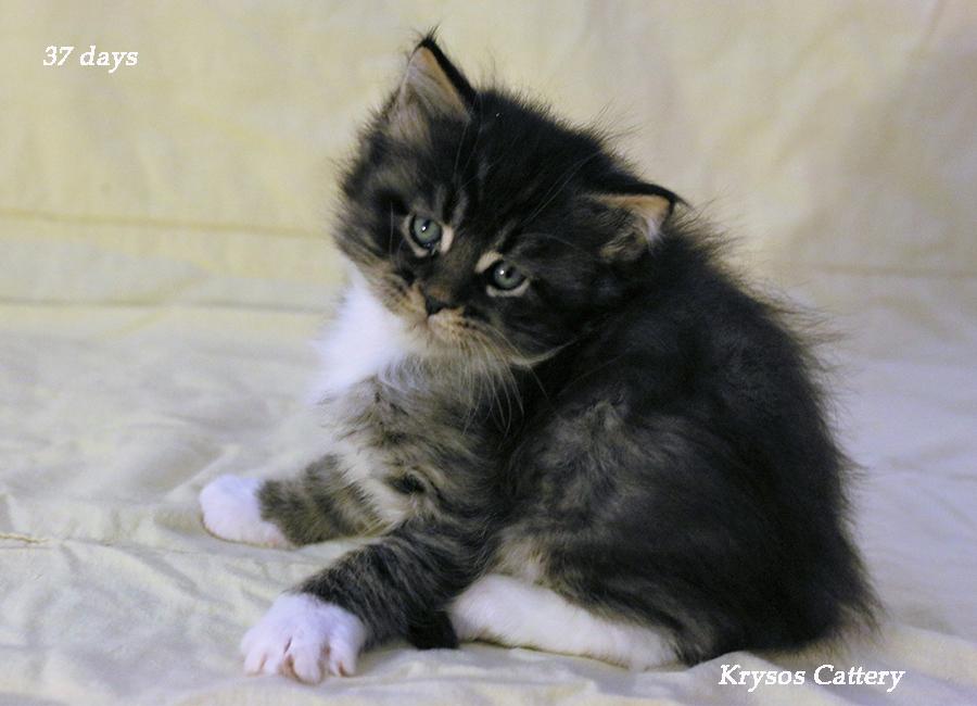 Kittens 37 days