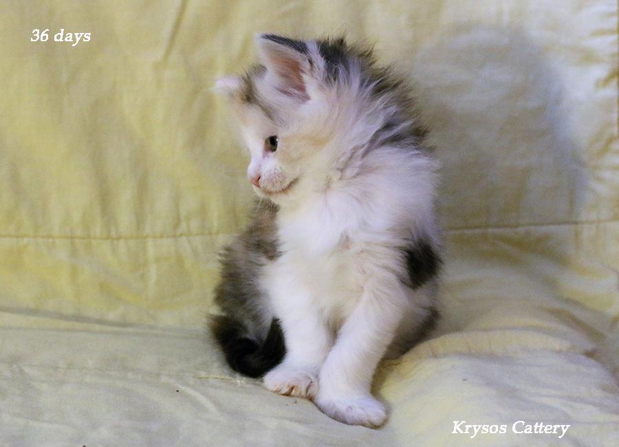 Kittens 36 days