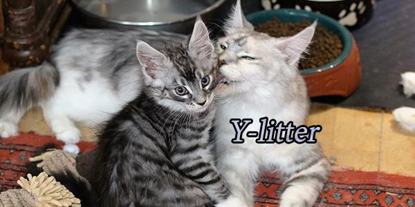 Y-litter