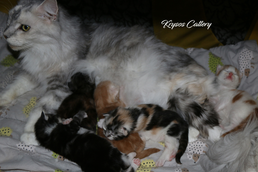 We have kittens a combination of RU*Semikin coon Oskar & FI*Krysos Queen of New Orleans