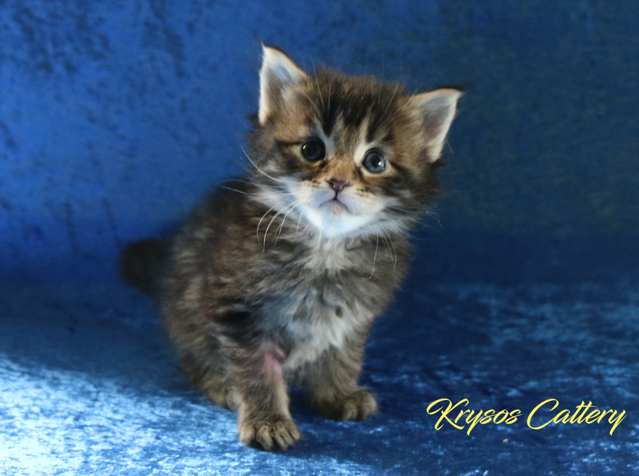 We have kittens a combination of GIC*Amistia´s Samson & Serlynx Look At Me