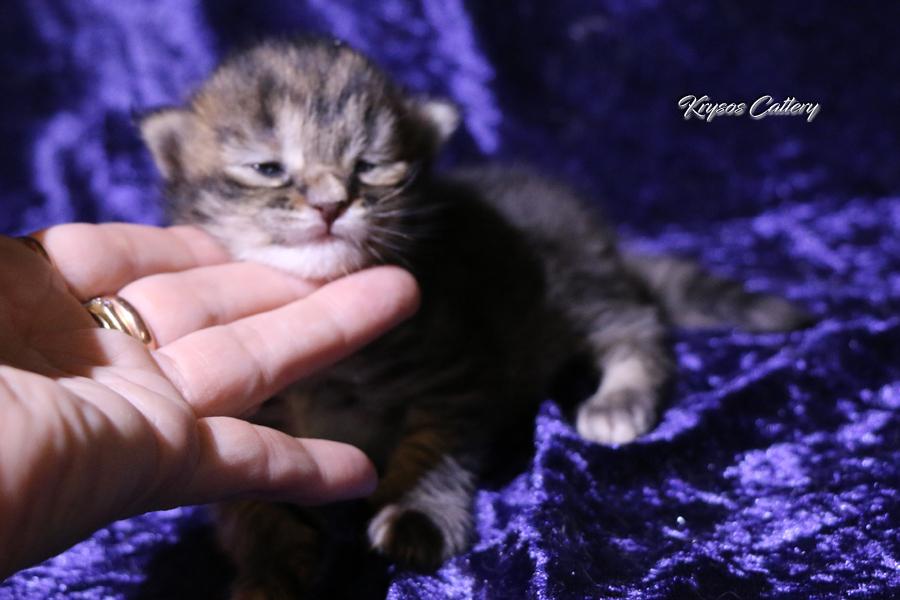 We have kittens a combination of RU*Semikin coon Oskar & FI*Krysos The Shadow by my side